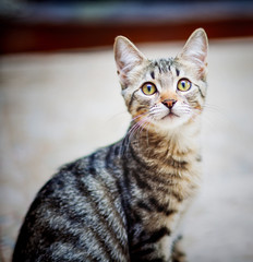 Portrait of a little young tabby cat