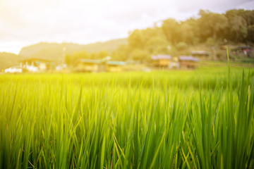 The green rice field with the green leaves in the good light day in the morning with flare on the mountain in Thailand.