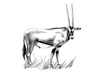Gemsbok (Oryx gazella) hand drawn illustrations