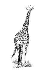 Giraffe hand drawn illustrations