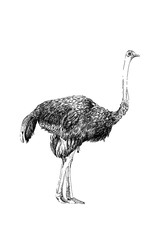 Ostrich hand drawn illustrations