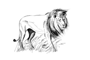 Lion hand drawn illustrations