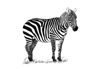 Zebra hand drawn illustrations
