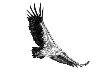 Vulture hand drawn illustrations
