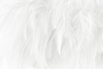 White feathers texture background.