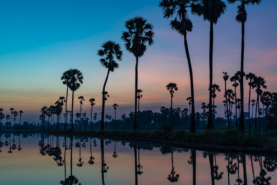 Silhouette of palmyra palm or toddy palm trees and their reflections in the field during an early beautiful dawn with colorful sky