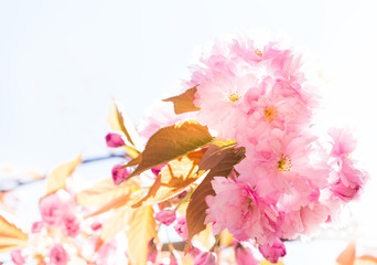 Beautiful pink Sakura.