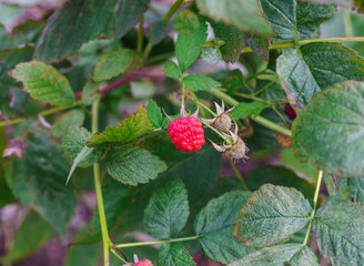 The last raspberries berries during this autumn.