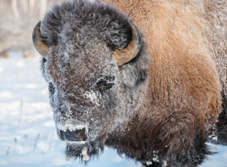 Fototapeta Yakut Bison reaches 2.5-3 meters in length and up to 2 meters in height. Thick coat of his gray-brown color, black-brown on the head and neck. The front of the body is covered with longer hair.