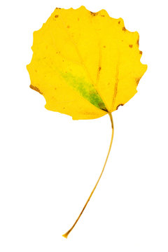 Yellow aspen leaf on isolated