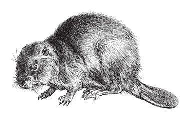 Eurasian Beaver (Castor Fiber) / vintage illustration from Meyers Konversations-Lexikon 1897