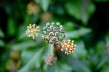 Fleur du lierre grimpant évoquant une molécule