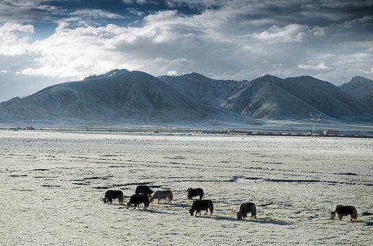 Gannan grassland scenery in gansu province