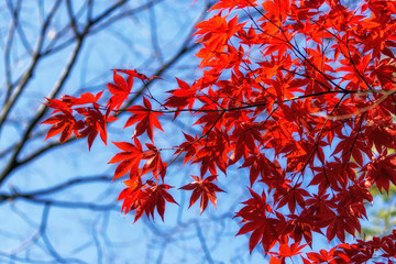 Photo sur Aluminium Rouge mauve autumn leaves close up in changgyeonggung