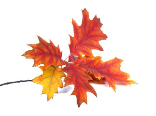 red orange autumn leaves isolated on the white background