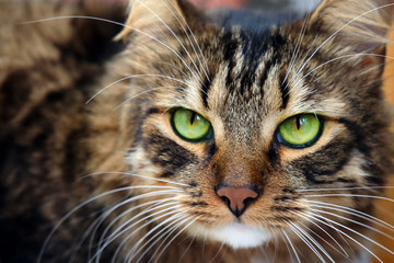 Close up portrait of long haired brown tabby cat with green eyes
