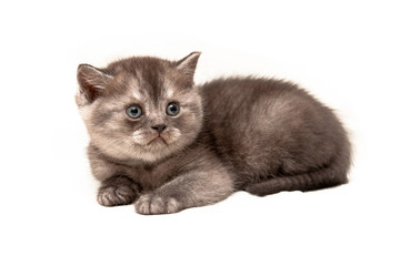 The little grey smoke kitten British lies on a isolated white background