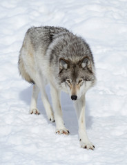 Deurstickers Wolf A lone Timber wolf or Grey Wolf (Canis lupus) isolated on white background standing in the winter snow in Canada