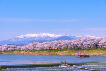 Tourist boat and row of Cherry blossom with snowcovered Mt. Zao in background along bank of Shiroishi river in Funaoka Castle Park, Miyagi, Japan. Text on boat flag means Hanami (flower viewing) boat