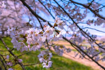 Shiroishigawa-tsutsumi Hitome Senbonzakura in sunny weather, Cherry blossoms along the bank of Shiroishi river in Funaoka Castle Ruin Park, Sendai, Miyagi prefecture, Japan