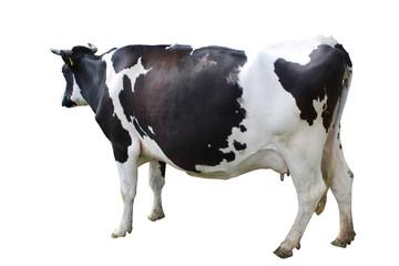 Schwarz weiße Kuh