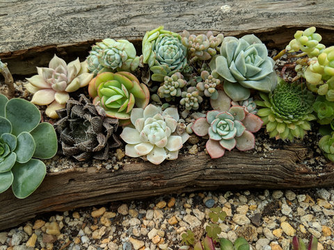 Succulents arrangements in a driftwood planter