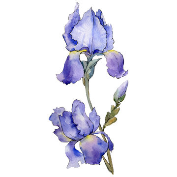 Purple iris. Floral botanical flower. Watercolour drawing aquarelle isolated. Isolated iris illustration element.