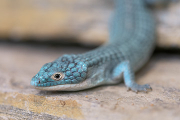 Closeup of an Alligator lizard standing on rocky surface
