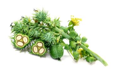 Herbal green castor beans