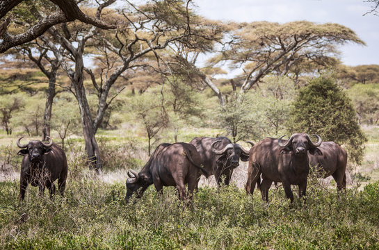 Five Cape Buffalo Grazing in the Serengeti in Tanzania
