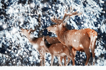 Wall Mural - Family of noble red deer in winter forest.