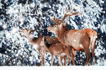 Fototapete - Family of noble red deer in winter forest.