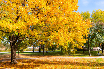 Golden Autumn Colored Tree in the Park