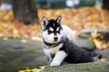 Husky puppy in a park in autumn