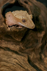 Close up Crested gecko (scientific name: Correlophus ciliates) crawling on brown dry wood. This animal is a cutie pet and it is one species in group of New Caledonia Geckos.