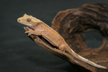 Crested gecko (scientific name: Correlophus ciliates) crawling on brown dry wood. This animal is a cutie pet and it is one species in group of New Caledonia Geckos.