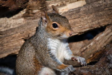 a portrait of grey squirrel sits upright between logs. It rests its paws on one looking alert to the right