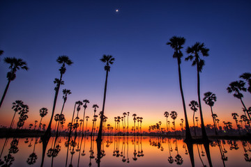 Silhouette Sugar Palm Tree on the rice field before Sunrise. Reflection on the Water.