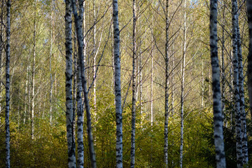 birch tree lush in colorful autumn forest