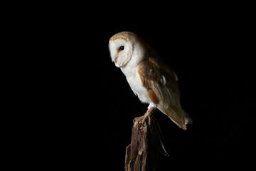 Barn owl - studio captured portrait Fototapete