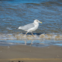 One seagull walking along the seashore.