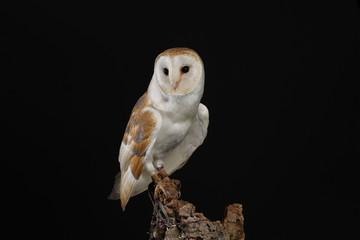 Zelfklevend Fotobehang Uil Barn owl - studio captured portrait