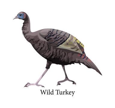 Wild turkey. Ornithology and fauna. Farm bird