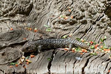 shingle back lizard aka stumpy tail hiding on a log