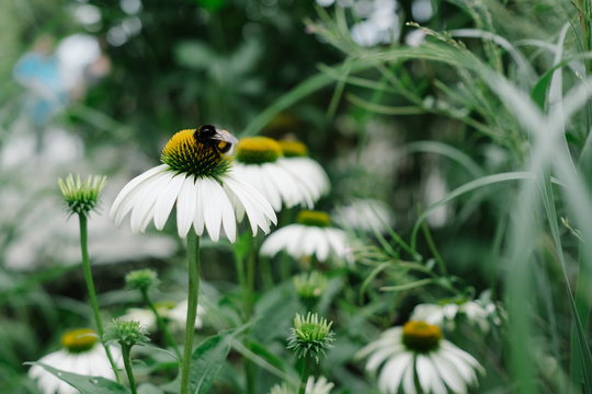 Bee on a white echinacea flower in the garden