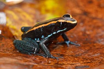 Gestreifter Blattsteiger (Phyllobates vittatus) - Golfodulcean poison frog
