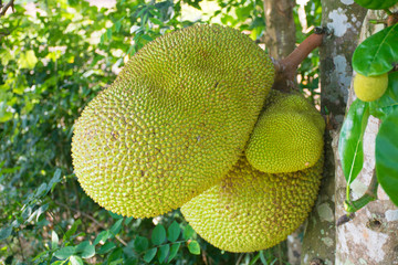 jackfruit on tree. tropical fruit agriculture concept.