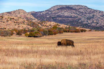 Fototapeta Bison on the range at the Wichita Mountains Wildlife Refuge, located in southwestern Oklahoma.