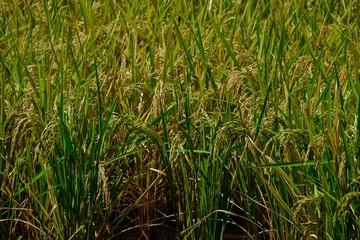 grown rice field