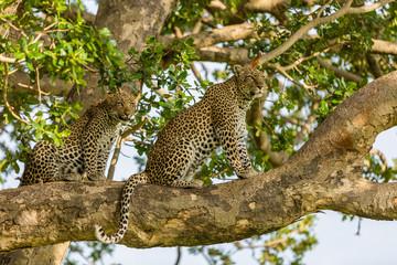 Wall Murals Leopard leopards in tree
